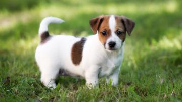 Cachorro de perro de la raza Jack Russell